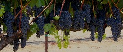 MV Pinot Noir - Russian River Valley