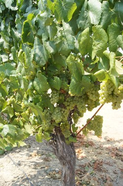 2015 Un-Oaked Chardonnay - Black Knight Vineyard
